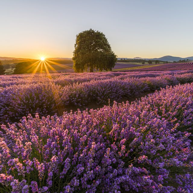 New Zealand & Australia Cruise Bridestowe Lavender Estate, at Nabowla, Tasmania is considered one of the State's most spectacular vistas during flowering in December and January.