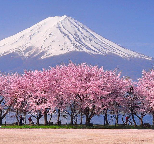 A Week in Japan Fuji and Sakura Blossom at Kawaguchiko.